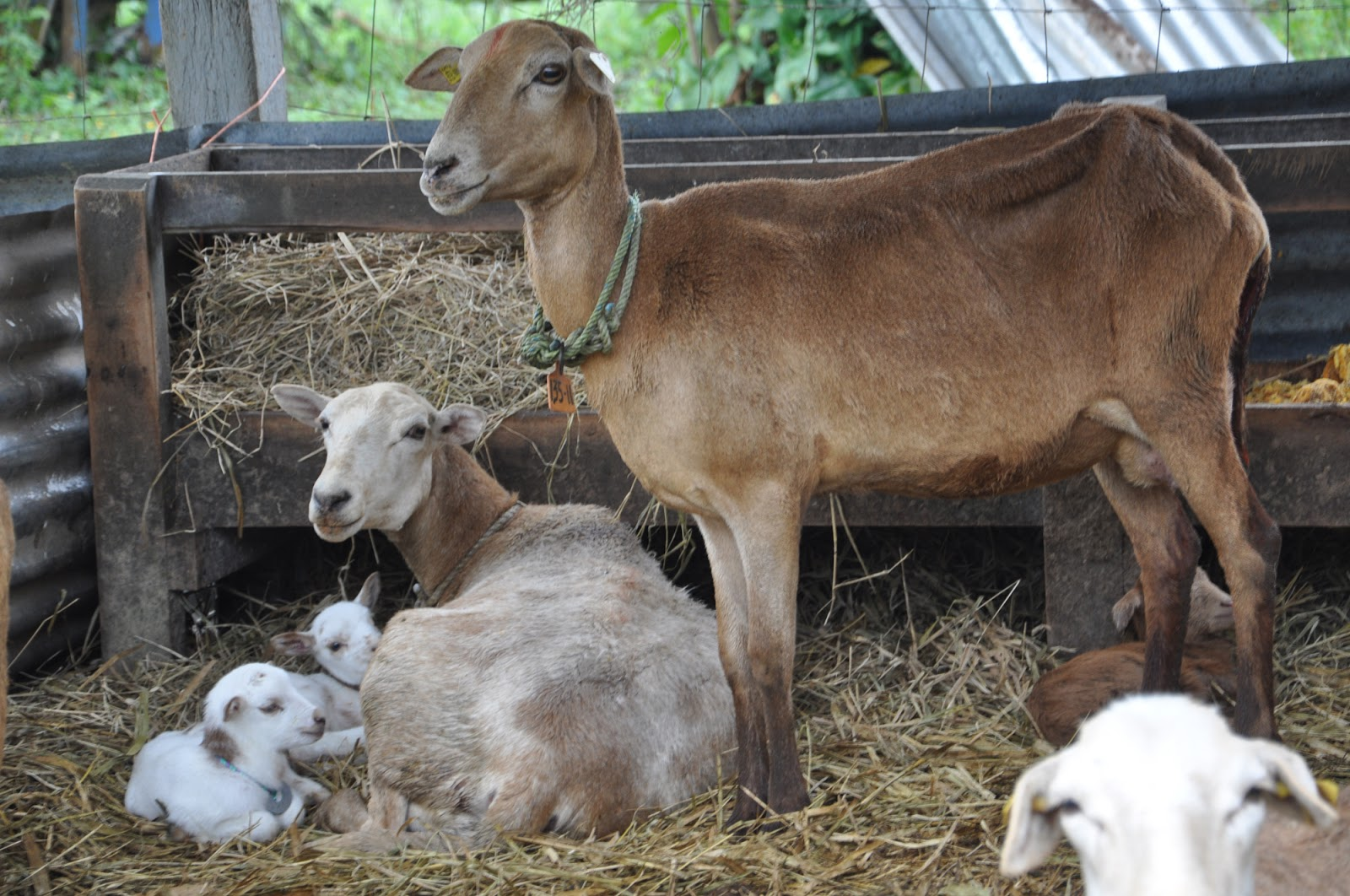fotos-de-borregos-ganado-ovino-en-la-granja-animales-corderos-3